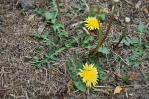 Dandelion greens make a delicious, nutty early spring green. Pick them before they flower or they'll be bitter.