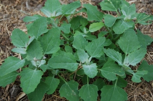Lambs quarters, or henbit is a nice salad green all summer. The chickens love it, too.