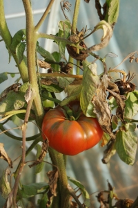 Tomatoes in the greenhouse, still going strong...for now.