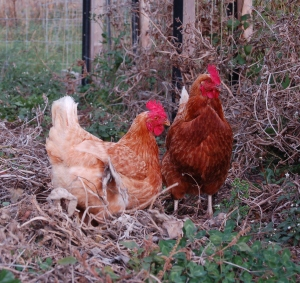 The chickens migrated to the vegetable garden today.