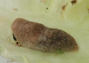 slug1crop