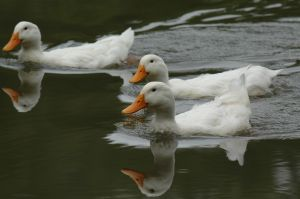 Three unnamed ducks. Photo: Eric Weiss