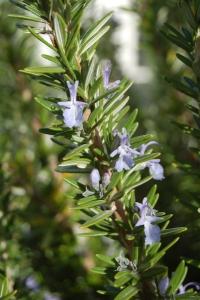 Rosemary1 sm