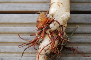 Belgian white carrot in a broomrape embrace