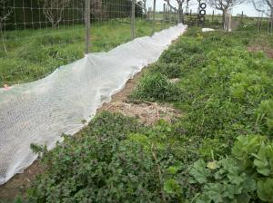 Netting covering newly-planted pea seedlings