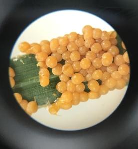 Physarum cinereum