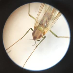 A female midge, with thread-like antennae.