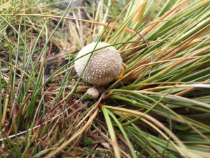 "Lycoperdon spp--a puffball. The genus name means ""wolf fart"""