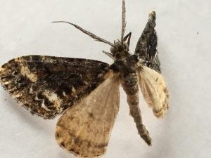 Pseudocoremia leucelaea
