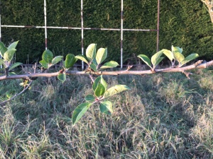 Newly sprouted, out-of-season apple leaves.