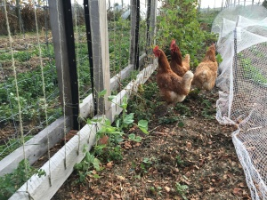 Some of the girls, enjoying what's left of the peas and eyeing up the newly planted broad beans, protected by netting.