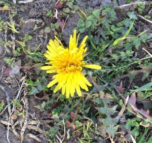 The dandelions are blooming.