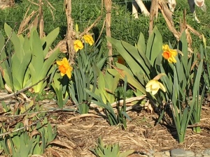 The daffodils are blooming.