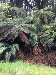 Tree ferns near Franz Josef Glacier