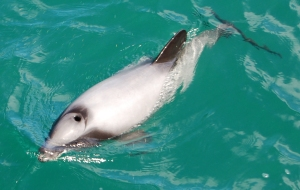 Hectors' dolphin (not today's) in Akaroa Harbour.