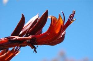 NZ flax