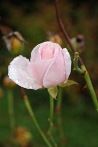 pinkrose-sm