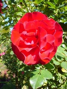 R Weiss roses Christchuch Botanic Gardens