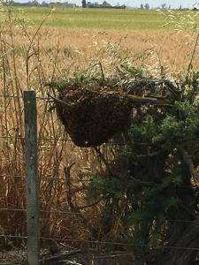The swarm--apologies for the image quality; I'm allergic to bee stings.