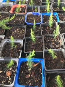 asparagus seedlings